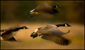 Canada-Geese-taking-off-11225